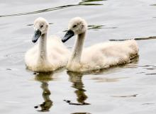 Mute swan cygnets at Hager Pond in Marlborough, photographed by Steve Forman.