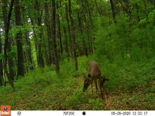 A white-tailed deer and fawn at SVT's Memorial Forest in Sudbury, photographed with an automatically triggered wildlife camera by Craig Smith.