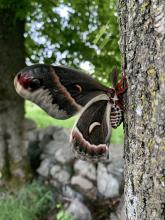 A cecropia moth in Concord, photographed by Dawn Dentzer.