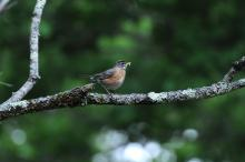 An American robin collects a caterpillar in Sudbury, photographed by Stephen Davis.