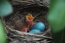 American robin hatchlings at their nest in Sudbury, photographed by Stephen Davis.