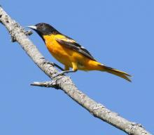 A Baltimore oriole in Southborough, photographed by Steve Forman.