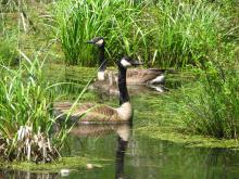 Canada geese at Pickerel Pond in Natick, photographed by Lucian Rest.