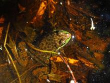 A green frog at Pickerel Pond in Natick, photographed by Lucian Rest.