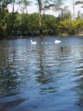 Mute swans at Mill Pond in Westborough, photographed by Blair Gately.