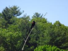 A red-winged blackbird at Pickerel Pond in Natick, photographed by Lucian Rest.