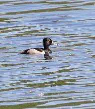 A ring-necked duck at Hager Pond in Marlborough, photographed by Steve Forman.
