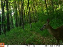 A white-tailed deer at SVT's Memorial Forest in Sudbury, photographed with an automatically triggered wildlife camera by Craig Smith.