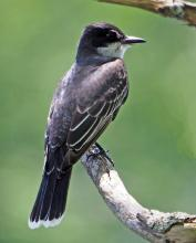 An eastern kingbird in Sudbury, photographed by Joan Chasan.