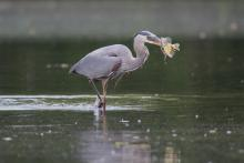 A great blue heron with a fish at Hager Pond in Marlborough, photographed by Sue Feldberg.