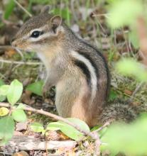 An eastern chipmunk at Great Meadows National Wildlife Refuge in Concord, photographed by Steve Forman.
