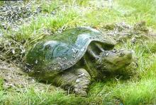 A snapping turtle in Lincoln, photographed by Harold McAleer.