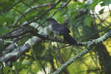 A gray catbird at SVT's Memorial Forest in Sudbury, photographed by Craig Smith.