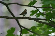 An ovenbird at SVT's Memorial Forest in Sudbury, photographed by Craig Smith.