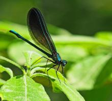 An ebony jewelwing at Garden in the Woods in Framingham, photographed by Joan Chasan.