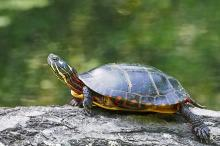 A painted turtle at Garden in the Woods in Framingham, photographed by Joan Chasan.