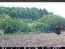 A white-tailed deer and a red-winged blackbird in Stow, photographed with an automatically triggered wildlife camera by Steve Cumming.