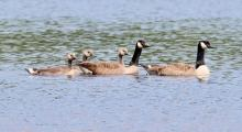 Canada geese at Farm Pond in Framingham, photographed by Steve Forman.