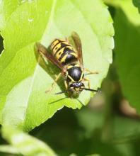 An eastern yellowjacket at Breakneck Hill Conservation Land in Southborough, photographed by Steve Forman.