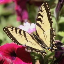 An eastern tiger swallowtail in Framingham, photographed by Steve Forman.