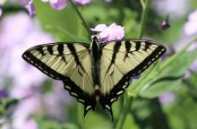 An eastern tiger swallowtail in Berlin, photographed by Al Collinson.