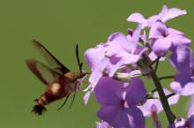 A hummingbird clearwing moth in Berlin, photographed by Al Collinson.