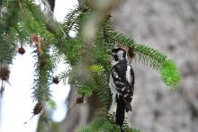 A downy woodpecker in Lincoln, photographed by Gail Sartori.
