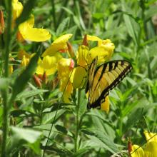 An eastern tiger swallowtail in Stow, photographed by Laura Reiner.