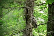 A barred owl in Wayland, photographed by Nancy Wright.