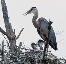 Great blue herons at their nest in Sudbury, photographed by Joan Chasan.