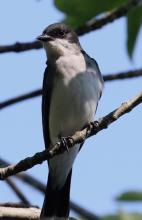 An eastern kingbird at Hager Pond in Marlborough, photographed by Steve Forman.