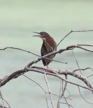 A green heron at Hager Pond in Marlborough, photographed by Steve Forman.