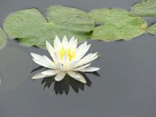 A water lily blossom in Lincoln, photographed by Harold McAleer.