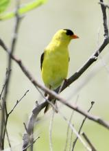 An American goldfinch at Farm Pond in Framingham, photographed by Steve Forman.