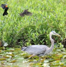 A pair of red-winged blackbirds mobbing a great blue heron at Farm Pond in Framingham, photographed by Steve Forman.