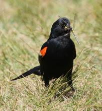 A red-winged blackbird with a dragonfly at Farm Pond in Framingham, photographed by Steve Forman.