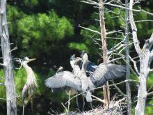 Great blue herons at Assabet River National Wildlife Refuge in Sudbury, photographed by Marie Rock.