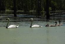 Mute swans at Assabet River National Wildlife Refuge in Sudbury, photographed by Marie Rock.