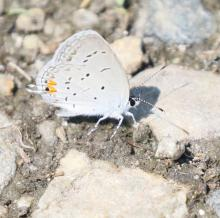 An eastern tailed-blue at Breakneck Hill Conservation Land in Southborough, photographed by Steve Forman.