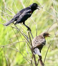 A pair of red-winged blackbirds at Breakneck Hill Conservation Land in Southborough, photographed by Steve Forman.