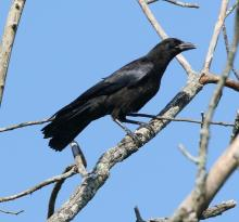 An American crow at Breakneck Hill Conservation Land in Southborough, photographed by Steve Forman.
