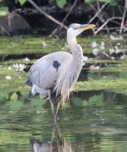 A great blue heron eating a fish at Hager Pond in Marlborough, photographed by Steve Forman.
