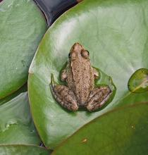 A green frog at Tower Hill Botanic Garden in Boylston, photographed by Joan Chasan.