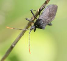 A leaf-footed bug in Southborough, photographed by Steve Forman.