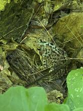 An American toad at SVT's Memorial Forest in Sudbury, photographed by Karin Paquin.