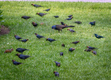 Brown-headed cowbirds, common grackles, red-winged blackbirds, and eastern chipmunks in Sudbury, photographed by Roel Daling.