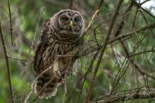 A barred owl in Ashland, photographed by Nancy Wright.