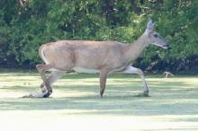 A white-tailed deer at Hager Pond in Marlborough, photographed by Steve Forman.