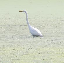A great egret at Hager Pond in Marlborough, photographed by Steve Forman.