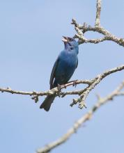 An indigo bunting at Breakneck Hill Conservation Land in Southborough, photographed by Steve Forman.